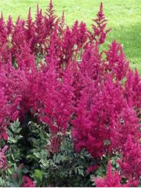 Astilbe d'Arends 'Spinell'