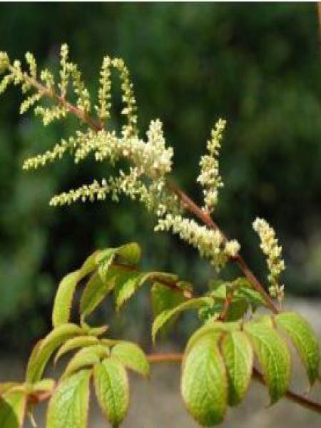Astilbe des ruisseaux 'Grandiflora'