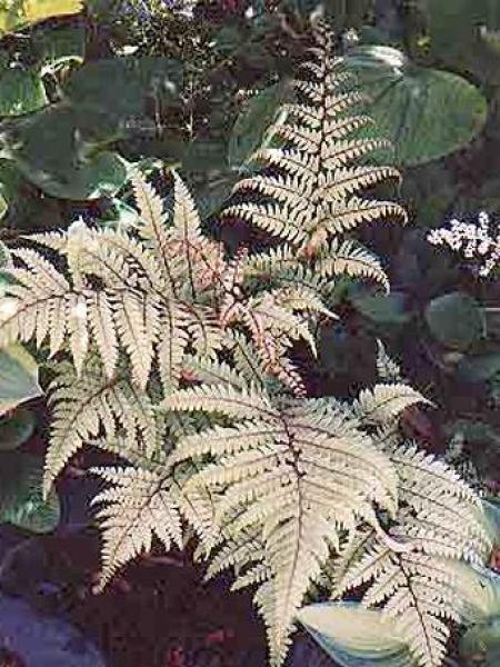 Athyrium otophorum 'Okanum'