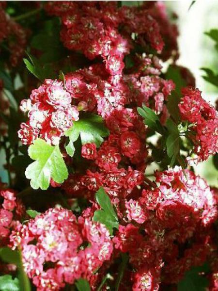 Aubépine, épine à fleurs 'Paul's Scarlet'