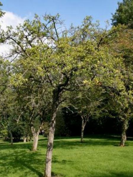 Aubépine rignonensis