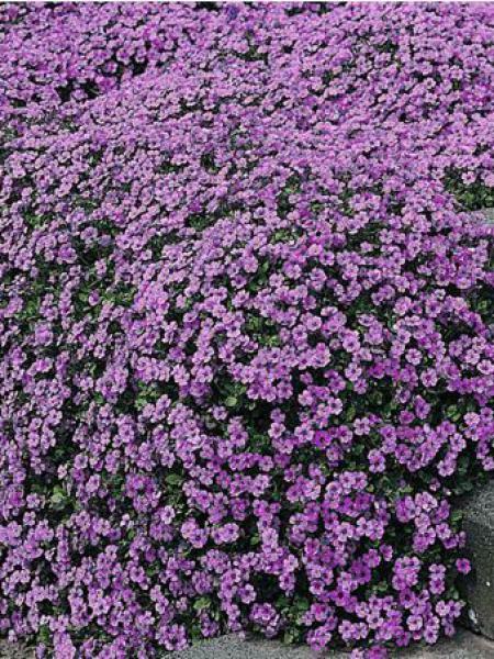 Aubriète 'Cascade Purple'