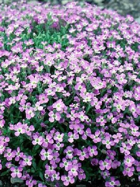 Aubriète deltoides '-violet-'