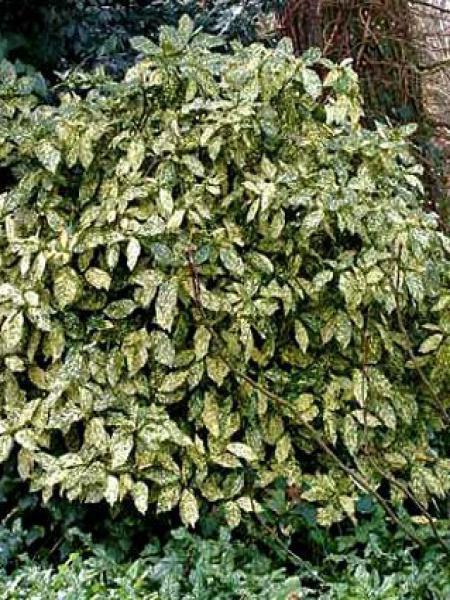 Aucuba du Japon 'Crotonifolia'