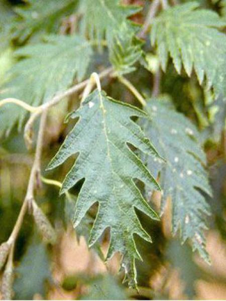 Aulne glutineux 'Laciniata'