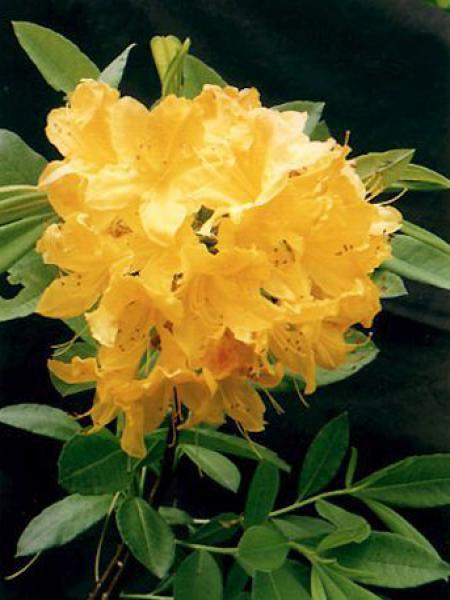 Azalée caduque mollis -jaune-