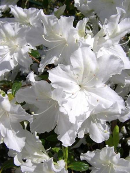 Azalée japonaise '-blanche-'