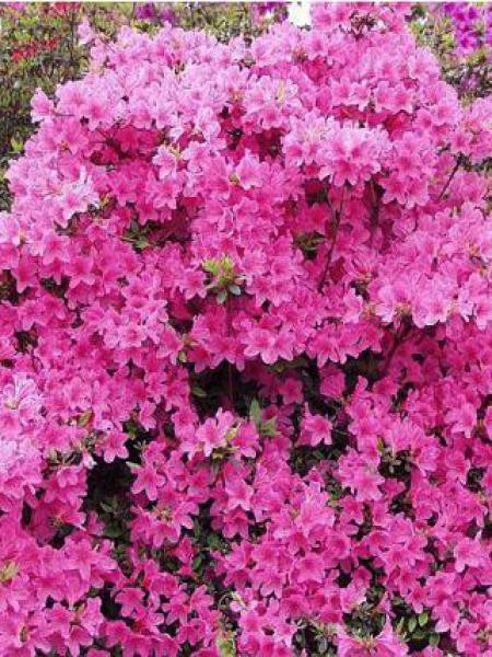 Azalée japonaise -rose-