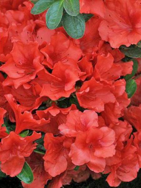 azal e japonaise rouge rhododendron japonica le jardin du pic vert. Black Bedroom Furniture Sets. Home Design Ideas