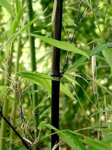 Bambou noir