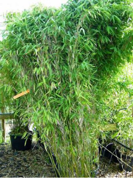 Bambou parapluie 'Jumbo'