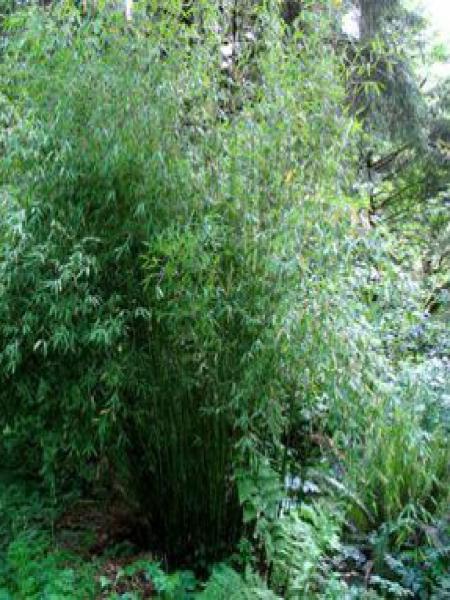 Bambou parapluie