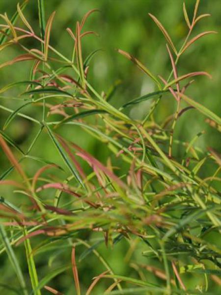 Bambou sacré 'Filamentosa'