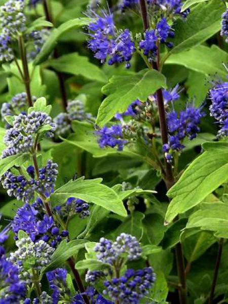 Caryopteris clandonensis 'Grand Blue/Barbe-bleue, Spirée bleue 'Grand  Barbe-bleue-spiree-bleue-grand-blue-