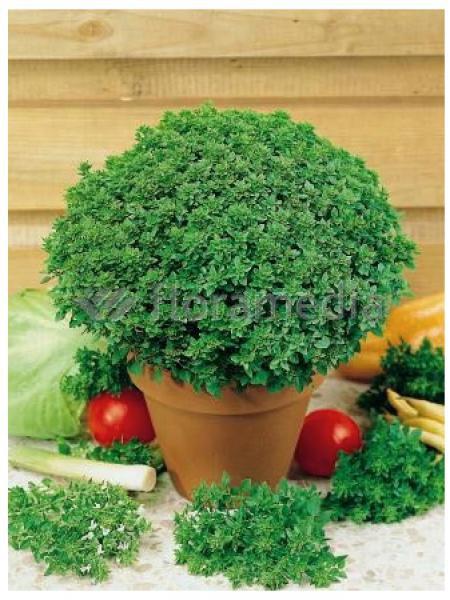 Basilic grand vert 'Pistou'