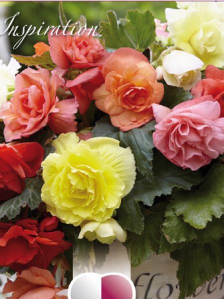 Bégonia 'Blanc et rose'