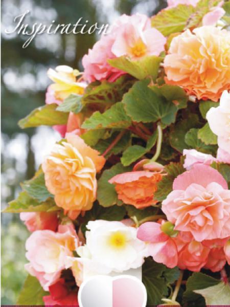 Bégonia retombant 'Mélange Rose Tendre'