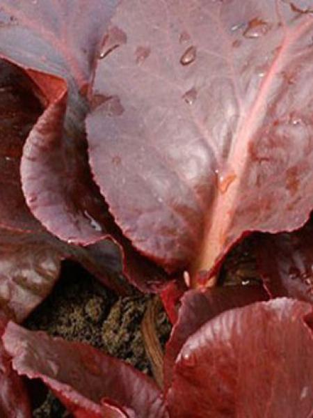 Bergénia à feuilles cordées 'Eroïca'