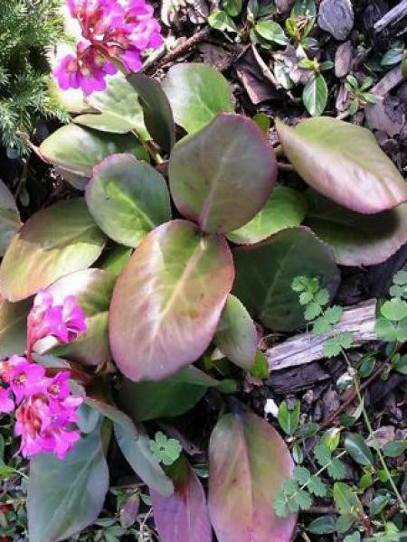 Bergénia à feuilles cordées 'Purpurea'