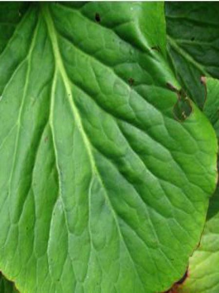 Bergénia à feuilles cordées