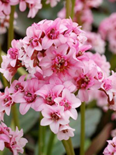 Bergénia 'Dargonfly Sakura'
