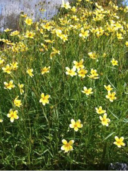 Bidens heterophylla 'Hannay's Lemon Drop'