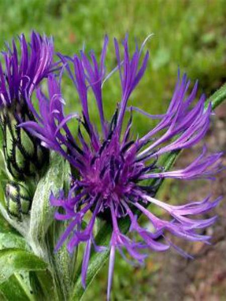 Bleuet, Barbeau des montagnes 'Violetta'