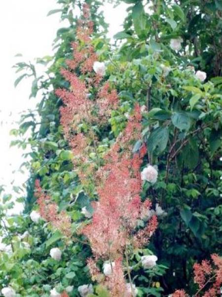 Bocconie 'Spetchley Ruby'