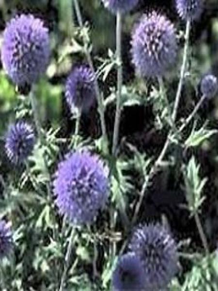 Boule azurée, Chardon boule 'Veitch's Blue'