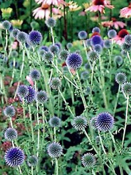 Boule azurée 'Taplow Blue'
