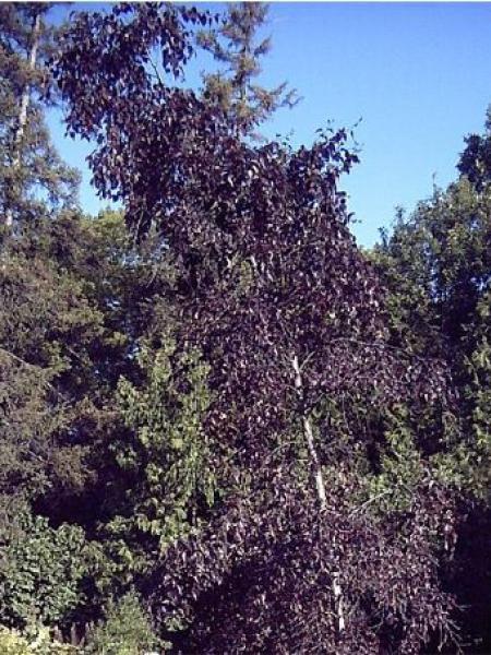 Bouleau commun 'Purpurea'