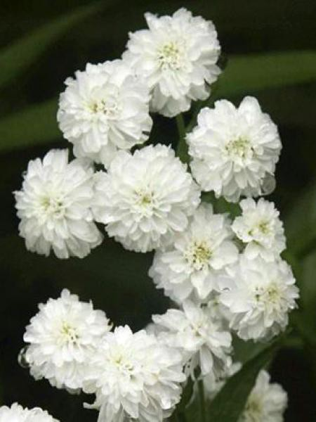 Bouton d'argent 'Perry's White'