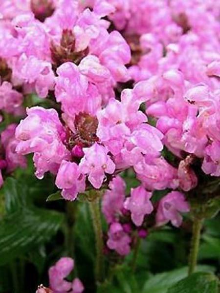 Brunelle, Prunelle 'Pink Loveliness'