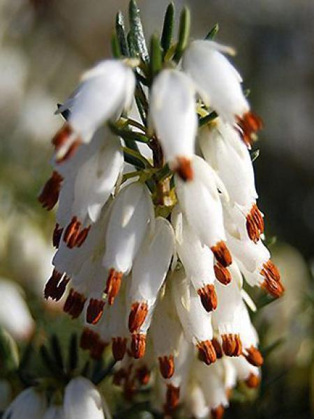 Bruyère des neiges 'Springwood White'