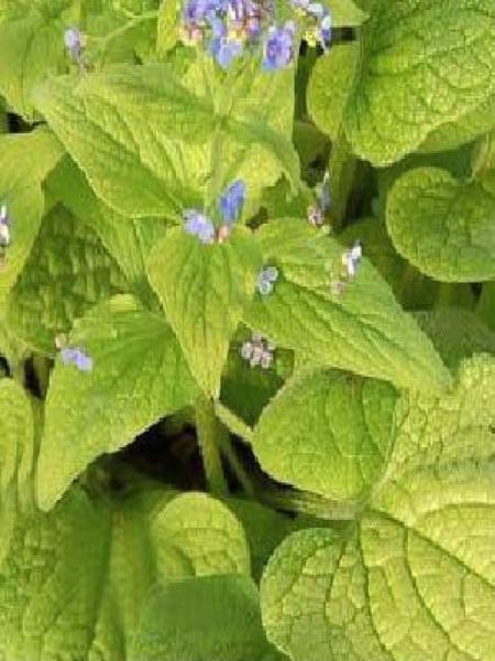 Buglosse de Sibérie 'Green Gold'®