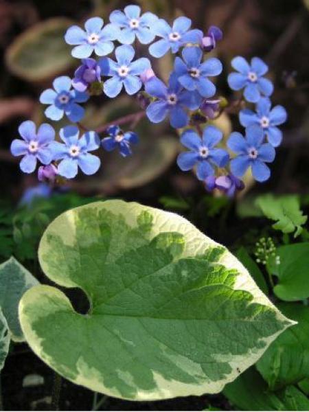 Buglosse de Sibérie 'Hadspen Cream'