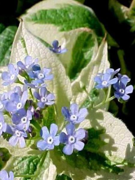 Buglosse de Sibérie 'Variegata'