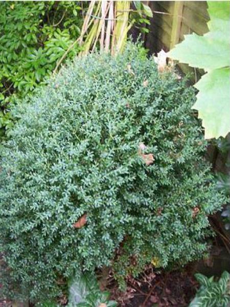 Buis commun 'Myosotidifolia'