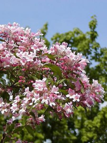 Buisson de beauté 'Pink Cloud'