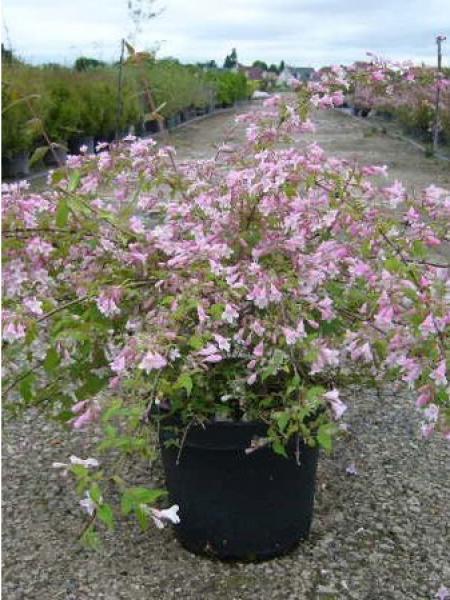 Buisson de beauté 'Rosea'