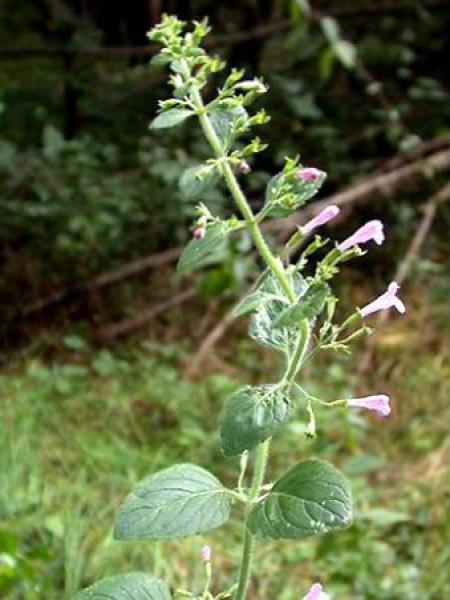 Calamintha sylvatica 'Menthe'