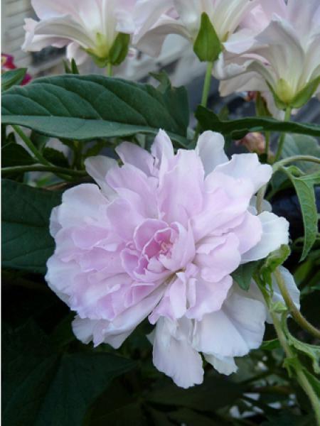 Calystegia hederacea 'Flore Pleno'