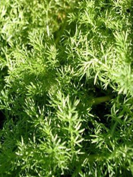 Camomille romaine 'Ligulosa'