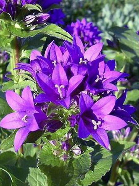 Campanule à bouquets 'Acaulis'