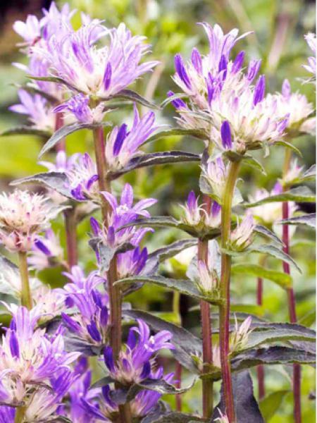 Campanule à bouquets 'Genti Twisterbell'