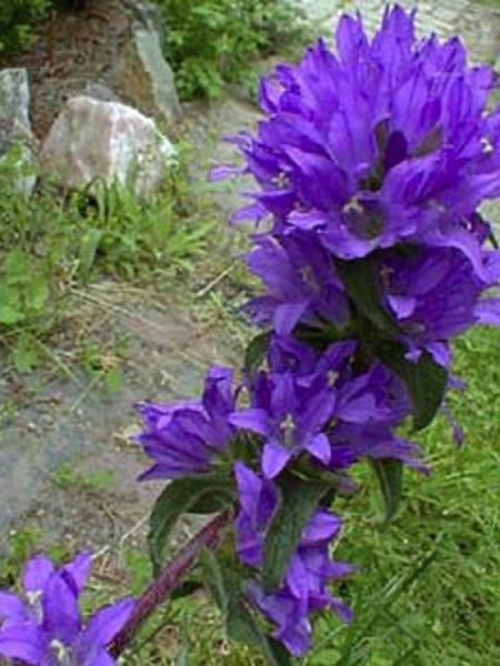 Campanule à bouquets 'Joan Elliott'