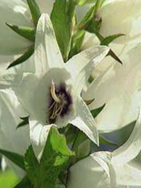 Campanule à feuilles larges 'Alba'