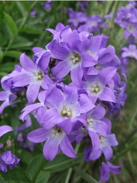 Campanule à fleurs laiteuses 'Prichard's Variety'