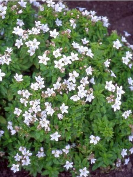 Campanule à fleurs laiteuses 'White Pouffe'