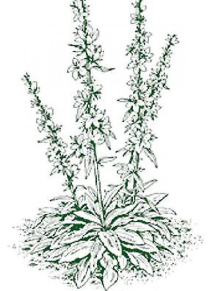 Campanule à fleurs larges 'Alba'